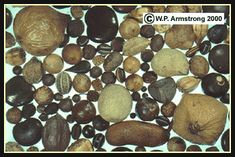 Drift Seeds And Drift Fruits  Seeds That Ride The Ocean Currents