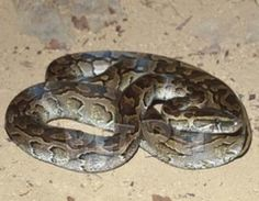 African Rock Python,   Aldays, South Africa