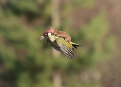 weasel-riding-woodpecker-wildlife-photography-martin-le-may-coverimage
