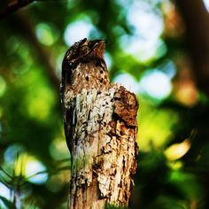 Species of the Day: The Common Potoo (Nyctibius griseus). This peculiar nocturnal animal is designed to survive because it is one of the best camouflaged birds in the world. It spends its day resting, appearing to be part of the trunk of a tree. While at dusk it hunts large flying insects with its large mouth wide open.  Photo: The Lilac Breasted Roller