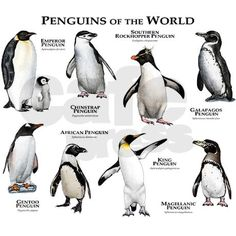 Penguins of the World Greeting Cards (Pk of 10) on CafePress.com