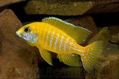 Aulonocara Baenschi (yellow regal peacock)