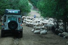 Land Rover and a few sheep