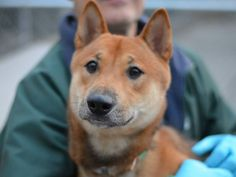 TO BE DESTROYED - 11/24/14 Brooklyn Center  My name is HACHI. My Animal ID # is A1019516. I am a male brown and tan shiba inu. The shelter thinks I am about 1 YEAR   I came in the shelter as a OWNER SUR on 11/02/2014 from NY 11221, owner surrender reason stated was MOVE2PRIVA.