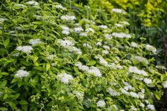 Spirea 'White Gold' - chartreuse foliage, with WHITE flowers, thank goodness!  Relatively new.