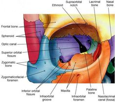 Dinesh Kumar, Consultant Opthalmology from Columbia Asia Petaling Jaya writes about the ocular anatomy of the eyes & how to take a good care of it. Anatomy Head, Anatomy Bones, Skull Anatomy, Body Anatomy, Anatomy Study, Skeleton Anatomy, Axial Skeleton, Facial Bones, Craniosacral Therapy