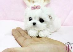 Image detail for -Baby Angel Micro Teacup Maltese ::: Royal Teacup Puppies :: Cute Baby Puppies, Really Cute Puppies, Tiny Puppies, Cute Dogs, Micro Teacup Puppies, Teacup Maltese, Maltese Dogs, Teacup Dogs, Teacup Breeds