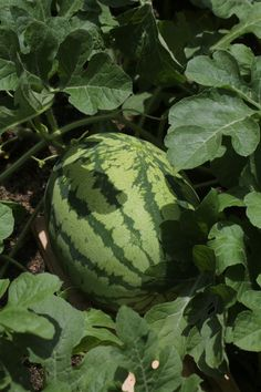 """Georgia Rattlesnake"" This delicious watermelon variety is a classic heirloom."
