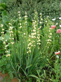 The Beth Chatto Gardens - S - Z > Sisyrinchium > Sisyrinchium stratium