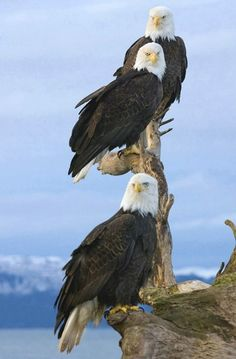 Eagles ~ On the Homer spit. Most of the time when I see photos like this on tide drift wood such as this stump, and those mountains in the background. I figure it for Homer Alaska. The Eagles, Where Eagles Dare, Bald Eagles, Nature Animals, Animals And Pets, Cute Animals, Beautiful Birds, Animals Beautiful, Eagle Pictures