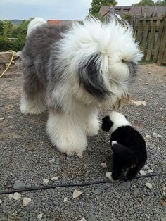 Extra Large and Extra Small! Baby Puppies, Baby Dogs, Doggies, Dogs And Puppies, Sheep Dogs, Ugly Animals, Cute Baby Animals, I Love Dogs, Cute Dogs
