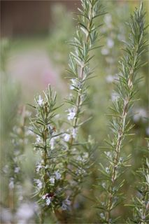 Rosemary stimulates memory and concentration, strengthens capillaries and the circulation, improves digestion and problems with bloating and gas, and has antimicrobial properties.   Whispering Earth