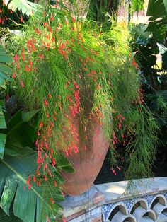 Russelia equistiformis (coral fountain or fire cracker plant)…