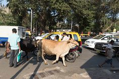 Timid crossers should wait for a passing cow in India. Image by Dan Herrick / Lonely Planet Images / Getty Images
