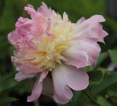Paeonia 'Raspberry Sundae' (Herbaceous Peony)