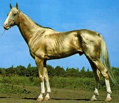 The Akhal-Teke, or Golden Horse, is a horse bread from Turkmenistan where they are a national emblem. They are known for speed, endurance, intelligence and a distinctive metallic sheen. It is thought to be one of the oldest existing horse breeds. lt.