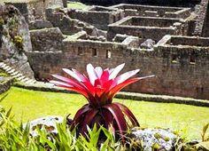 Machu Pichu Bromeliad