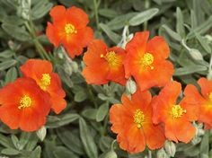 Sun rose, or helianthemum, good ground cover easy care  rose helioSun+rose,+or+helianthemum,+good+ground+cover