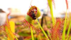 En España pódese encontrar varias especies de planta carnívora:dropsera capensis con insectos,sarracenia hibrido...(noemí)