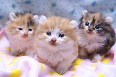 ☆3月26日うまれの子猫たち☆5月8日の記録の画像 | アメリカンカール★MARINE's BLOG★