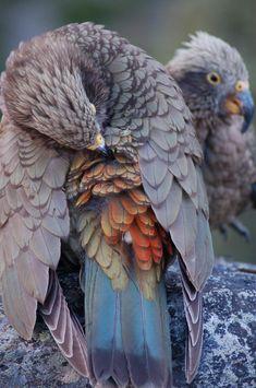 Nelson Lakes National Park, January By Corey Mosen. Sea Birds, Wild Birds, Beautiful Birds, Animals Beautiful, Kakapo Parrot, Cross Stitch Gallery, Wildlife Tattoo, Parrot Fish, New Zealand Tattoo