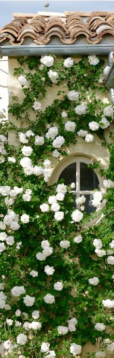 Stunningly beautiful white climbing Roses....what a show!!!!