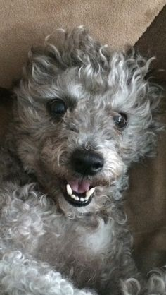Tico poodle/terrier rescued from a puppy mill and now living the good life!