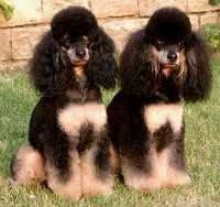Phantom Poodles very rare and beautiful