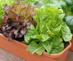 Growing Lettuce In Containers 3