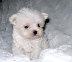 Morkie!!!! Looks like a polar bear