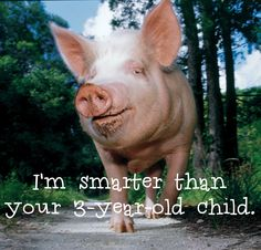Did you know? Pigs outperform 3-year-old human children on cognition tests & are smarter than any other domestic animal.