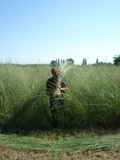 Tall wheatgrass in Hungary has been extensively demonstrated