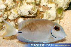 Ozeandoktorfisch - MasterFisch Fish, Pets, Animals, Seashells, Cow Head, Types Of Animals, Animales, Animaux, Pisces