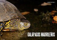 Es Madrid no Madriz Magazine Madrid, Turtle, Natural, Turtles, Tortoise, Au Natural
