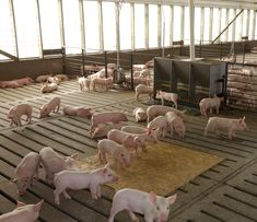 Biogas Initiative from Swine Farm in Southern Thailand Pig Farming, Social Enterprise, Research Projects, Big Data, Renewable Energy, Business Opportunities, Livestock, Photo Illustration, Climate Change