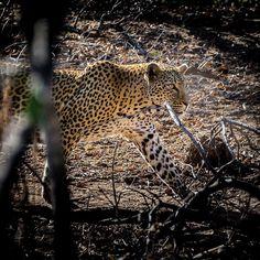 #leopard #bigfive #southafrika #dowellafrica