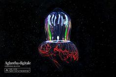Aglantha digitale