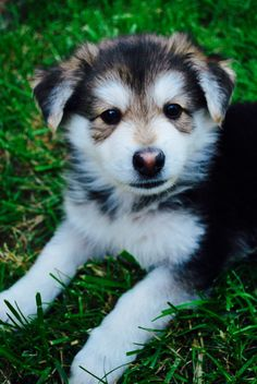 Cute Husky/ German Shepherd Mix