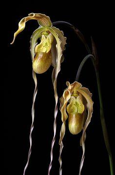 Orchid (Paphiopedilum) V