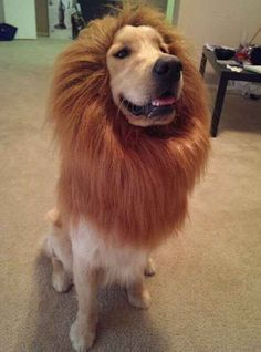 I am the Lion King.   61 Times Golden Retrievers Were So Adorable You Wanted To Cry