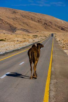 A camel walks in the Negev Desert, Israel. En kamel vandrar i Negev Desert, Israel.