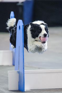 Flyball 120421_119 by Four_Paw, via Flickr
