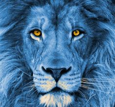 "I love this picture it reminds me of the Lion in ""The Lion, the witch, & the Wardrobe"". The lion in the movie & books symbolizes Jesus. Lance Mcclain Voltron, Takashi Shirogane, Lion Love, Lion Wallpaper, Lion Pictures, Form Voltron, Blue Lion, Lion Art, Allura"