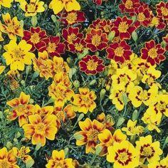 Tagetes Starfire Kings Seed Range - Irish Plants Direct