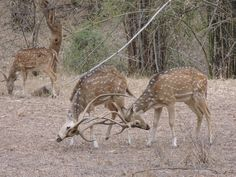 Deer fighting in the Sariska National Park, India G Adventures, National Geographic, Giraffe, Deer, National Parks, India, Animals, Goa India, Animaux