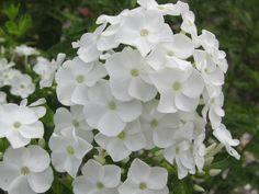 Phlox 'White Admiral'