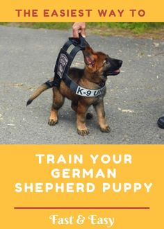 Today I am going to show you how to train your German Shepherd puppy First, off, congratulations! If you are reading this, chances are you are in the process of getting a GSD (German Shepherd Dog) o is part of German shepherd puppies training - German Shepherd Training, German Shepherd Puppies, German Shepherds, Dog Minding, Easiest Dogs To Train, Schaefer, Gsd Puppies, Dog Training Tips, Potty Training