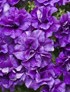 Supertunia 'Double Dark Blue' a Proven Winners Petunia that's on trial in my garden in 2013 with reader comments