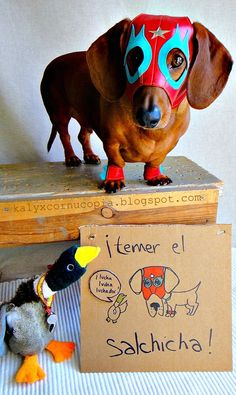 Mexican wrestling wiener dog