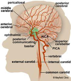 Brain Anatomy, Anatomy of the Human Brain Arteries Anatomy, Brain Anatomy, Human Anatomy And Physiology, Body Anatomy, Internal Carotid Artery, Vertebral Artery, Cerebrospinal Fluid, Cranial Nerves, Brain Science